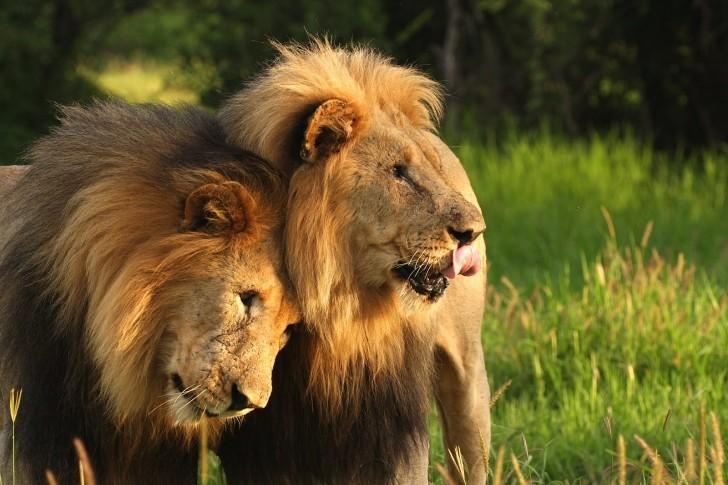 Viaggiogiovani-it----Africa--leoni-741592